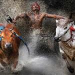 Pacu Jawi es una carrera de toros que se lleva a cabo en Batu Sangkar, Indonesia, para celebrar el fin de la cosecha. En la imagen, un jockey entre dos toros. Wei Seng Chen, Malasia, 12 de febrero | 1er lugar en Sports Action Single